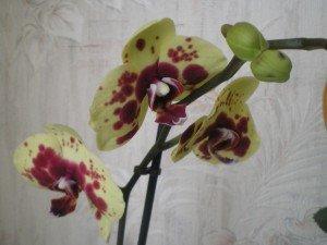 imgp1301-300x225 dans orchidées